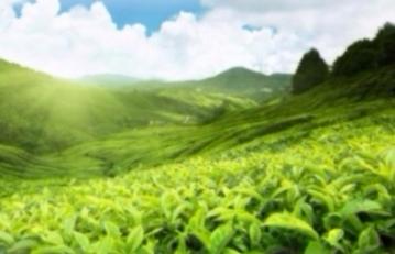 Green Tea (Camellia sinensis)