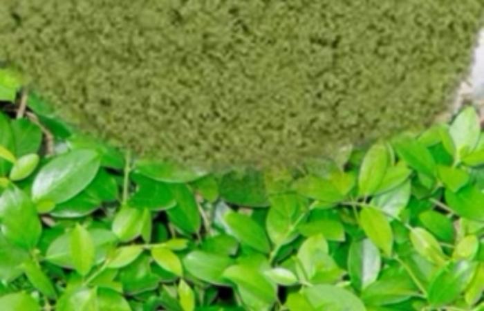 Gymnema extract (Gymnema sylvestre)