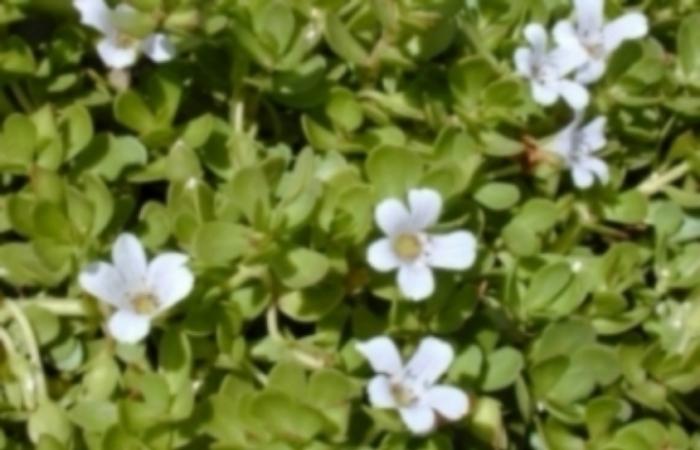 Bacopa Extract (Bacopa monnieri)