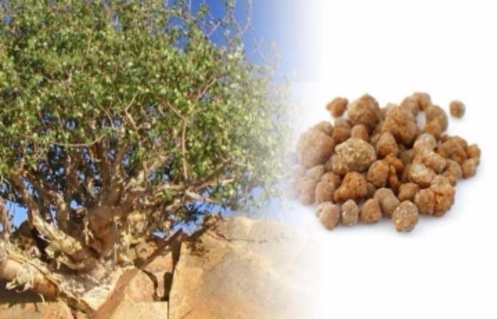 Guggul Extract (Commiphora mukul)